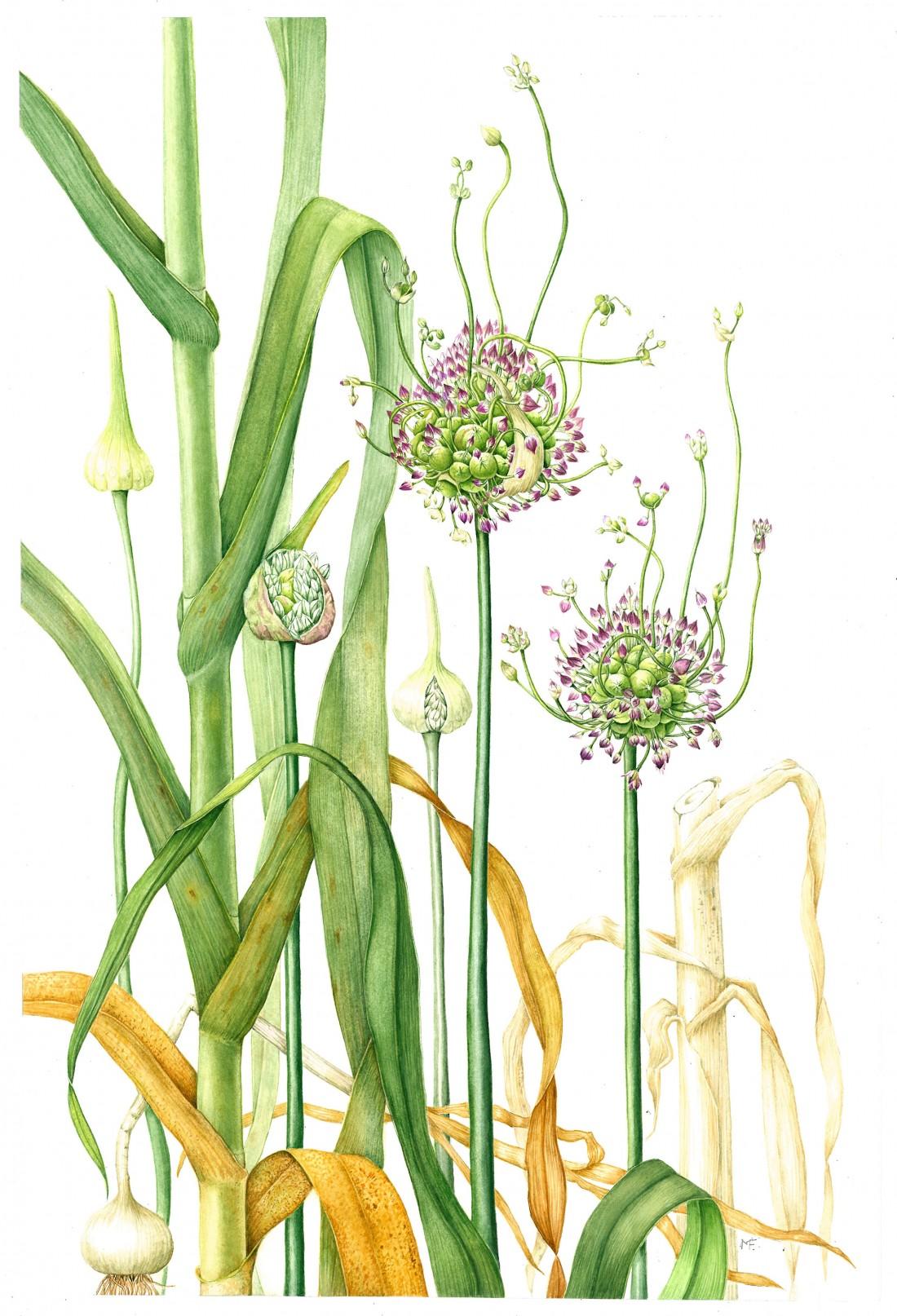 Allium ampeloprasum var. babingtonii Babington's Leek
